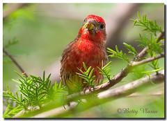 House Finch (Betty Vlasiu) Tags: house finch carpodacus mexicanus bird nature wildlife