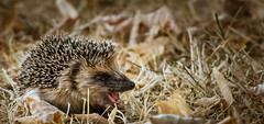 Baby hedgehog (Jean-Luc Peluchon) Tags: fz1000 panasonic lumix nature animal hedgehog hrisson sauvage wild bb