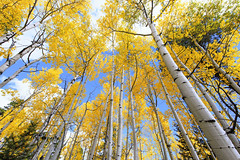 Golden Aspen Tree Leaves of Fall (Cathy Neth) Tags: 1424mm coppellphotographer dentonphotographer flowermoundphotographer flowermoundphotography highlandvillagephotographer lewisvillephotographer aspen aspentrees aspentreesinautumn aspentreesincolorado aspentreesinfall autumn autumnincolorado beautifulaspen beautifullandscapes bluesky cathyneth changingcolors circularpolarizer cnethphotography coloradolandscapes composition d810 fall fallcolors fallincolorado forest forestchangingcolors goldenaspen goldenaspentrees landscape landscapephotography landscapes leefilters modernphotographer modernphotography mountainphotography mountains nationalforest nature naturephotography naturesbeauty nikon nikond810 photography photos rollingwhiteclouds sanjuannationalforest tree treecolors treephotography treephotos trees whiteclouds whitepuffyclouds yellowaspen