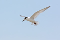 Little Tern (Sternula albifrons) (oliveback) Tags: mb d7100 200500mmf56 handheld