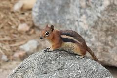 Golden-mantled Ground Squirrel (maritimeorca) Tags: animal cheyennemountainzoo goldenmantledgroundsquirrel groundsquirrel mammal rodent squirrel zoo