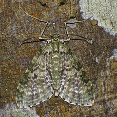 White olive and black zigzag pattern Snout moth Airlie Beach rainforest P1110944 (Steve & Alison1) Tags: white olive black zigzag pattern snout moth airlie beach rainforest
