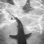 Sharks thumbnail