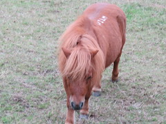 UK - Buckinghamshire - Near Fawley - Miniature pony (JulesFoto) Tags: uk england clog centrallondonoutdoorgroup buckinghamshire fawley pony