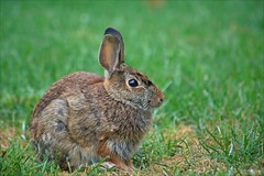 Morning Visitor (Sue90ca Glorious Autumn) Tags: canon 6d bunny