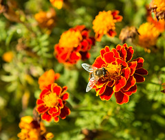 (akk_rus) Tags: 2470 28 nikkor nikkor247028 nikon d800 nikond800 moscow russia moskau moscou   europe  nature  flower flowers    bee