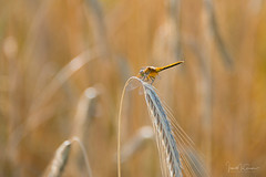Summer Dragon (Ian McGregor Photography) Tags: canada field grain ian ianmcgregor mcgregor nikon photography dragonfly ianmcgregorphotographycom insect wheat rhein saskatchewan ca