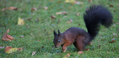 Daily visitor 2 (pe_ha45) Tags: eichhrnchen squirrel eekhoorn esquilo ardilla scoiattolo cureuil ourgarden