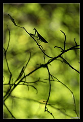Mantis religiosa 17 (jo.pensel) Tags: macrophotographie macro mantis mantisreligiosa mantes mantereligieuse insecte imagenature insectes insect invertébré contrejour capsizun bretagne finistère france faunedebretagne biodiversité nature naturebretagne enthomologie environnement jopensel jocelynpensel pensel