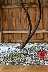 Hail (rsoputro) Tags: garden hail