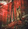 Slovenian forest (steve-jack) Tags: hasselblad 501cm 50mm kodak aerochrome 099 filter slovenia forest primeval beech medium format 120 6x6 film