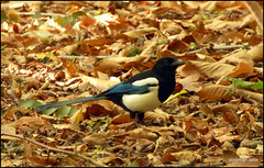 ............also in the park today (postman.pete) Tags: leave holly green walk woodland autumn magpie black white carrion crow speckled wood butterfly buzzard headed gull lake hwcp lumix