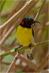 Purple rumped sunbird (pinakin2in) Tags: purplerumpedsunbird sunbird purplesunbird birds gardenbirds