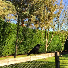 Bob The Crow (Marc Sayce) Tags: crow corvid bird rook raven jackdaw bob