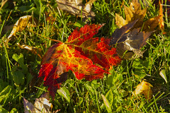 Great Morning (rumimume) Tags: potd rumimume 2016 niagara ontario canada photo canon 550d t2i sigma autumn fall leaf outdoor red yellow maple mapleleaf sunlight