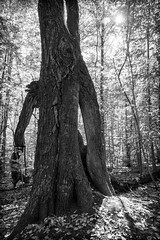 Merlin Tree Hopkins Forest 6465 (KimCarpenter NJ) Tags: hopkinsforest williamstown massachusetts hikingtrail merlin tree hollowtree williamscollege