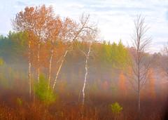 White Birch, MI 8778 (Petr Bednarik) Tags: autumn colorful fall fog forest grass landscape larch michigan morning nature orange scenic sunrise upperpeninsula usa