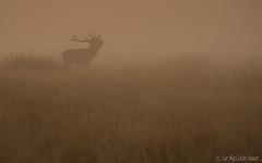 Through the mist (Sue MacCallum-Stewart) Tags: richmondpark reddeer stag rut bellowing sunrise mist earlymorning surrey nature wildlife