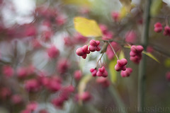 Autumn fruits (Fabien Husslein) Tags: euonymus europaeus fusain europe fruits automne autumn nature bokeh couleur colour saison season