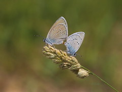 4I6A7582 Mazarine Blue,female at Lt  (Cyaniris semiargus) ( Jeff Lin) Tags: fp