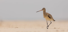 IMG_5392 (Simonas Minkeviius) Tags: bartailedgodwit limosalapponca godwit shorebird bird seashore lithuaniannature curonianspot juodkrant