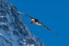 Gypaète barbu (Hubert Chiapusso) Tags: aussois gypaètebarbu oiseau animalsauvage rapace hautemaurienne vanoise
