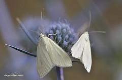 ...  Sitochroa palealis ([Denis & Schiffermller], 1775) su cardo ametistino (Plebejus argus) Tags: sitochroapalealis crambidae falene moths lepidotteri macro insetti cardoametistino vallegrande lepini sezze lazio italia