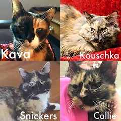 Forever Homes Wanted! (Hospice Hearts) Tags: hospicehearts wwwhospiceheartsorg champaign urbana illinois il animalrescue adopt volunteer foster feline felines foreverhome cat cats nonprofit kava snickers callie kouschka adoptdontshop