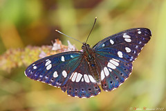Limenitis reducta (ValeCrio) Tags: