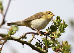 Willow Warbler (Phylloscopus trochilus) (Dave N Roach) Tags: willowwarbler phylloscopustrochilus
