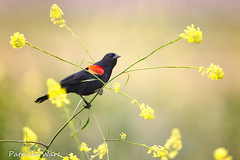 Red-wing in Mustard (Patricia Ware) Tags: california canon ngc handheld huntingtonbeach redwingedblackbird agelaiusphoeniceus bolsachicaecologicalreserve ©allrightsreserved specanimal 10nw coth5 blinkagain 5wonderwall bestofblinkwinners ©patriciaware sunrays5