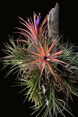 Tillandsia ionantha - 4 (Luiz Filipe Varella - 50.000+ photos!) Tags: mexico klein plantas mexican tillandsia bromeliaceae ionantha filipe luiz bromeliads varella bromélias