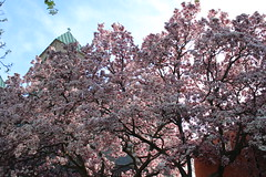 Magnolia Blossoms Fill the Block (marylea) Tags: pink flowers beauty spring catholic michigan blossoms annarbor magnolia catholicchurch blooms magnolias may3 2013 stthomasaa stthomastheapostlecatholicchurch