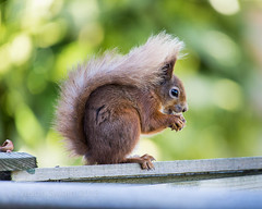 Red Squirrel IMG_7849 (s0ulsurfing) Tags: pictures wood light red wild summer england sunlight cute green english nature animal animals canon fence garden fur mammal island photography furry squirrel squirrels dof natural bokeh eating wildlife tail nuts may picture fluffy ears fluff naturalhistory photograph isleofwight isle wight tufty redsquirrel vulgaris 6d hazelnuts sigma50500 sciurus 2013 s0ulsurfing naturewatching canon6d jasonswain sciurusvularis