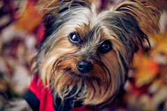 Lorenzo (Jacob Waites) Tags: autumn red dog pet pets brown black green yorkie puppy photography spring puppies yorkshire terrier yorkies silky petography rustyformayor
