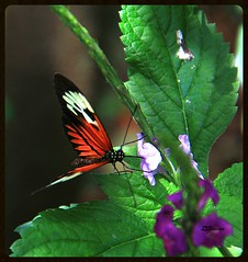 Piano Key Butterfly (Blanca Rosa / Zoila Stincer) Tags: flowers nature butterfly flora insects mariposa butterflyworld pianokeybutterfly canoneos60d parksmiami gardensmiami zstincer flowersmiami