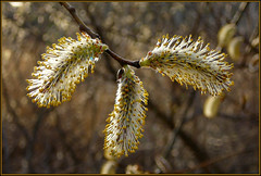 Pussy Willow (Photographic Poetry) Tags: sun nature backlight seasons massachusetts meadow berkshires catkin pussywillow newlenox meditationmeadow