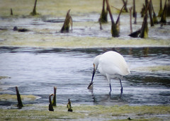 Egret Catching a Fish (MissTessmacher) Tags: bird animal nikon snowy egret teleconverter 2x d90 primehooknationalwildliferefuge 70200f28vrii tc20eiii