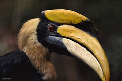 Portrait of a male Great Indian Hornbill (Steve Wilson - classic view please) Tags: uk greatbritain portrait england india macro bird nature beautiful animal gardens closeup garden asian zoo nikon rainforest asia close cheshire britain wildlife indian great conservation chester jungle tropical pied captive hornbill avian captivity upton chesterzoo zoological zoologicalgarden zoologicalgardens greatindianhornbill piedhornbill d7000 caughall nikond7000