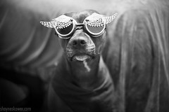 Capt Lox (SkowerPhotography) Tags: blackandwhite dogs animals photography glasses wings pitbull burningman pittbull lox pitbulls lacksleycastell juliakropinova loxthedog