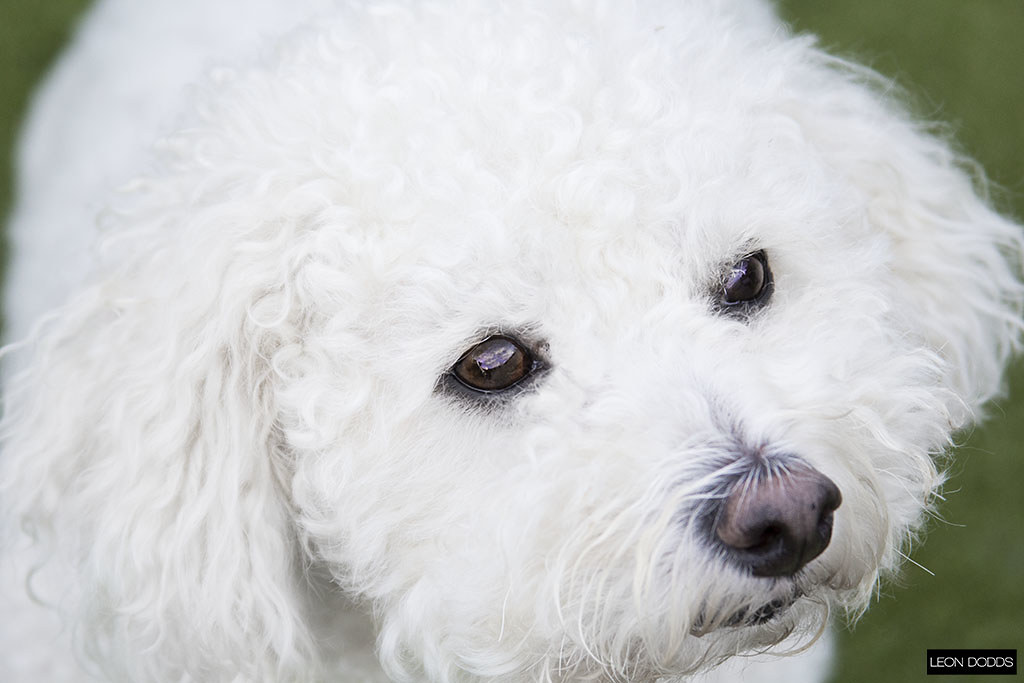 The World's Best Photos of bichon and england - Flickr Hive Mind