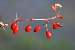 Red berries (Sarah Hina) Tags: red berry