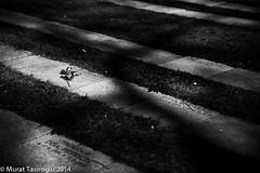 Only a Rose left behind (Murat Tasiroglu) Tags: friedhof leave cemetery grave rose memorial europe stockholm april grab erinnerung leftbehind fototour hinterlassen europefototour