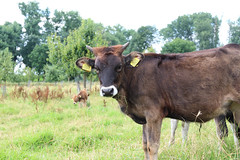 A tauros cattle (ragingr2) Tags: brown nature animal fur cow furry cattle maas 93 natuurgebied eartag crossbreeding keent 0093 tauros
