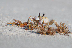 Breakfast (Bill McBride Photography) Tags: atlanticghostcrab atlantic ghost crab crustacean sand summer july 2016 nature wildlife ocypodequadrata cocoa beach fl florida canon eos 70d ef100400l