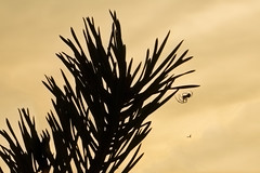 Along came a spider (Lesley Jean) Tags: spider silhouette scots pine thursley sunset