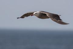 Heerman's Gull (J.B. Churchill) Tags: ca california lajolla places sandiego unitedstates us
