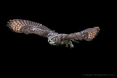 Great Horned Owl (Susan Newgewirtz) Tags: nikon ontario owl greathornedowl raptor canada crc bird blackbackground flight