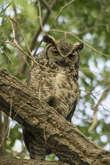 DJT_1095 (David J. Thomas) Tags: ely nevada nv travel vacation nationalspeleologicalsociety convention conference nss bird greathornedowl