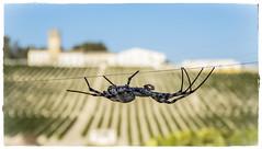 VIGILANDO NUESTROS VIÑEDOS (BLAMANTI) Tags: arañas insectos